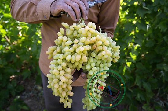 صادرات انواع انگور و کشمش ایران