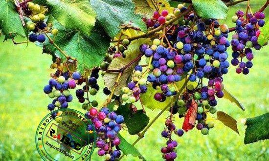 صادرات انگور شرابی
