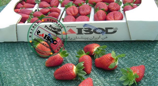 قیمت توت فرنگی صادراتی