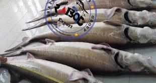 گوشت خاویار برای صادرات