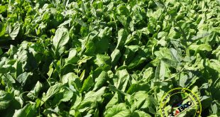 صادرات سبزی تازه