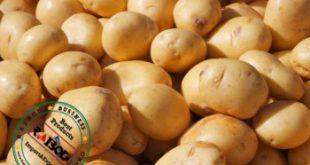 صادرات سیب زمینی درجه یک