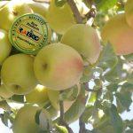صادرات سیب زرد لوکس