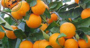 صادرات پرتقال مازندران