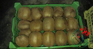 صادرات میوه کیوی