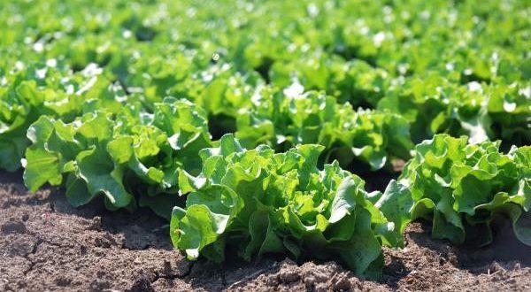سبزی برای صادرات