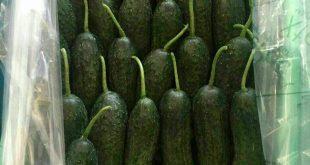 صادرات خیار خاردار
