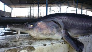 صادرات گوشت ماهی خاویاری
