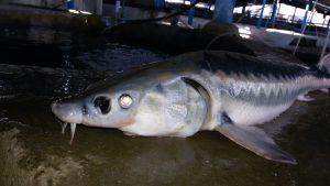 صادرات گوشت و خاویار فیل ماهی